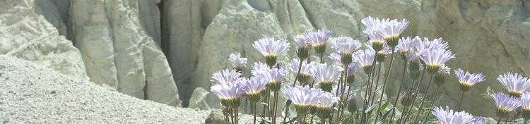 Mojave Aster - Coso Range Badlands